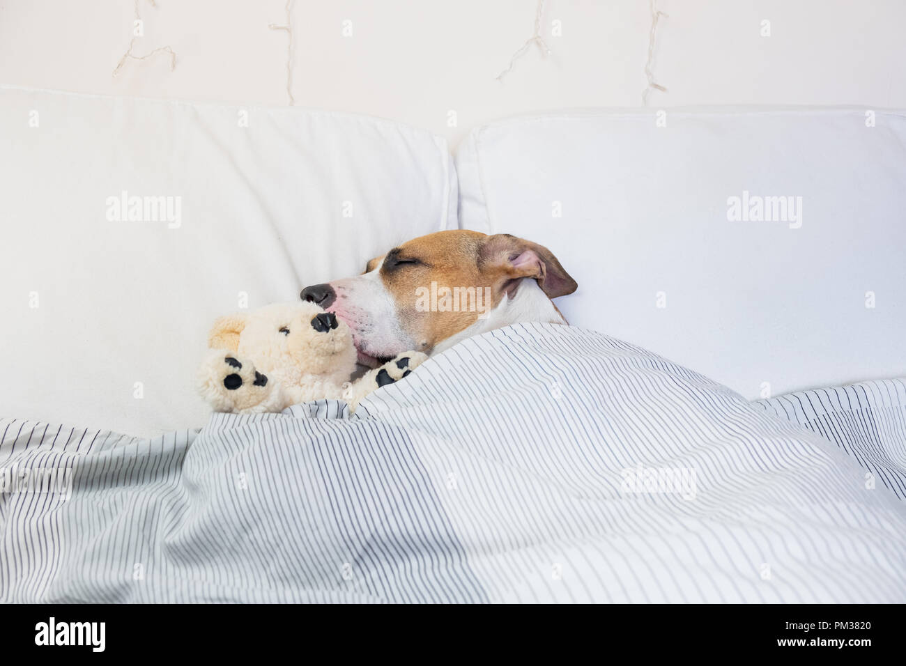 Cute dog sleeping in bed with a fluffy toy bear. Staffordshire terrier puppy resting in clean white bedroom at home - Stock Image