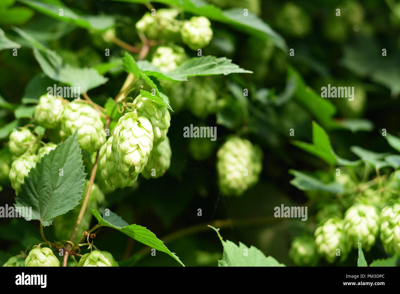 Wild hops in autumn shortly before harvesting Stock Photo