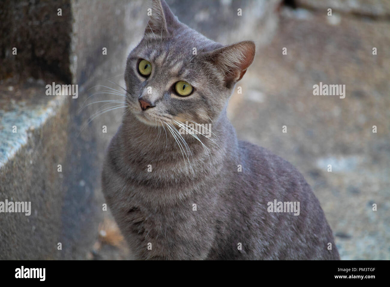 Awesome cute isolated grey cat portrait on street Stock Photo