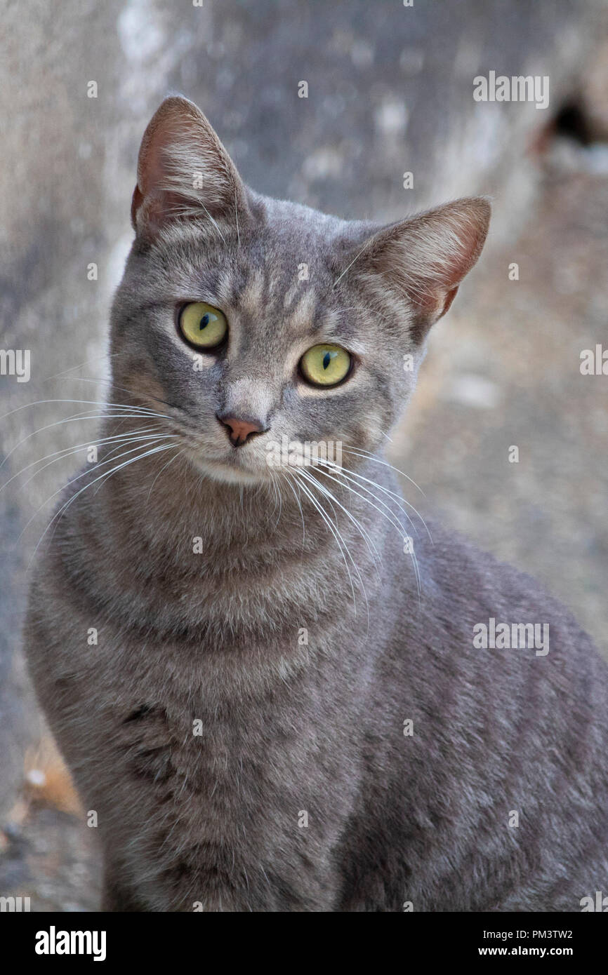 Awesome cute isolated grey cat portrait on street - Stock Image