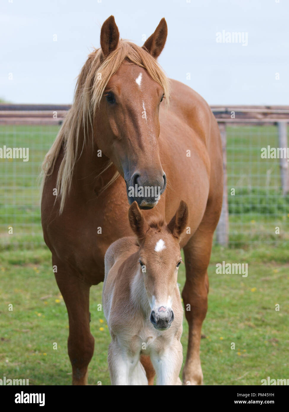 A Suffolk Punch Mare And Foal In A Paddock Stock Photo Alamy
