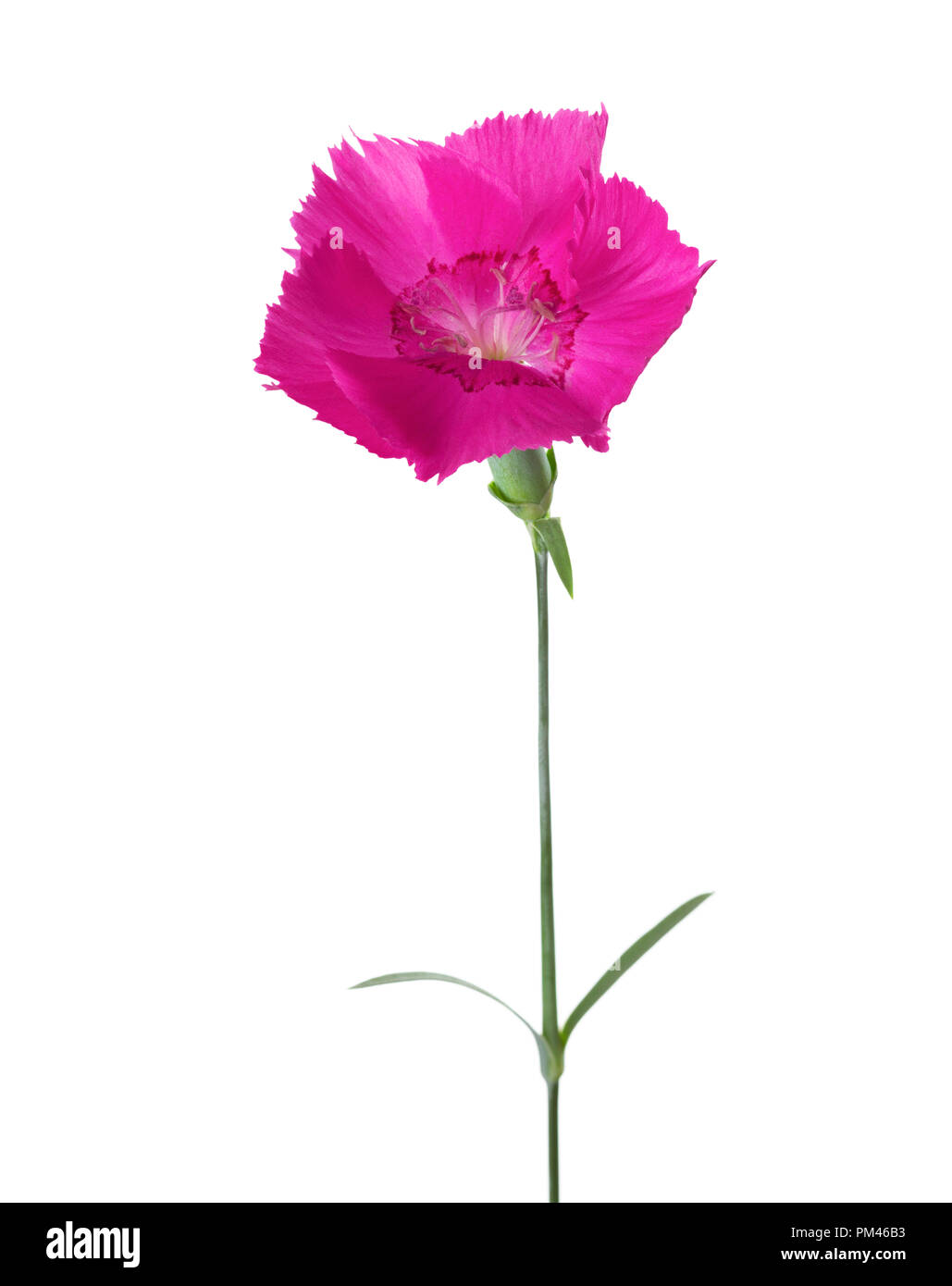 Carnation flower  of magenta color isolated on white background. Dianthus - Stock Image