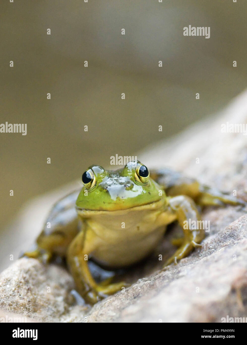 A green frog sits on a rock by a pond in New Hampshire, USA, at dusk. Stock Photo