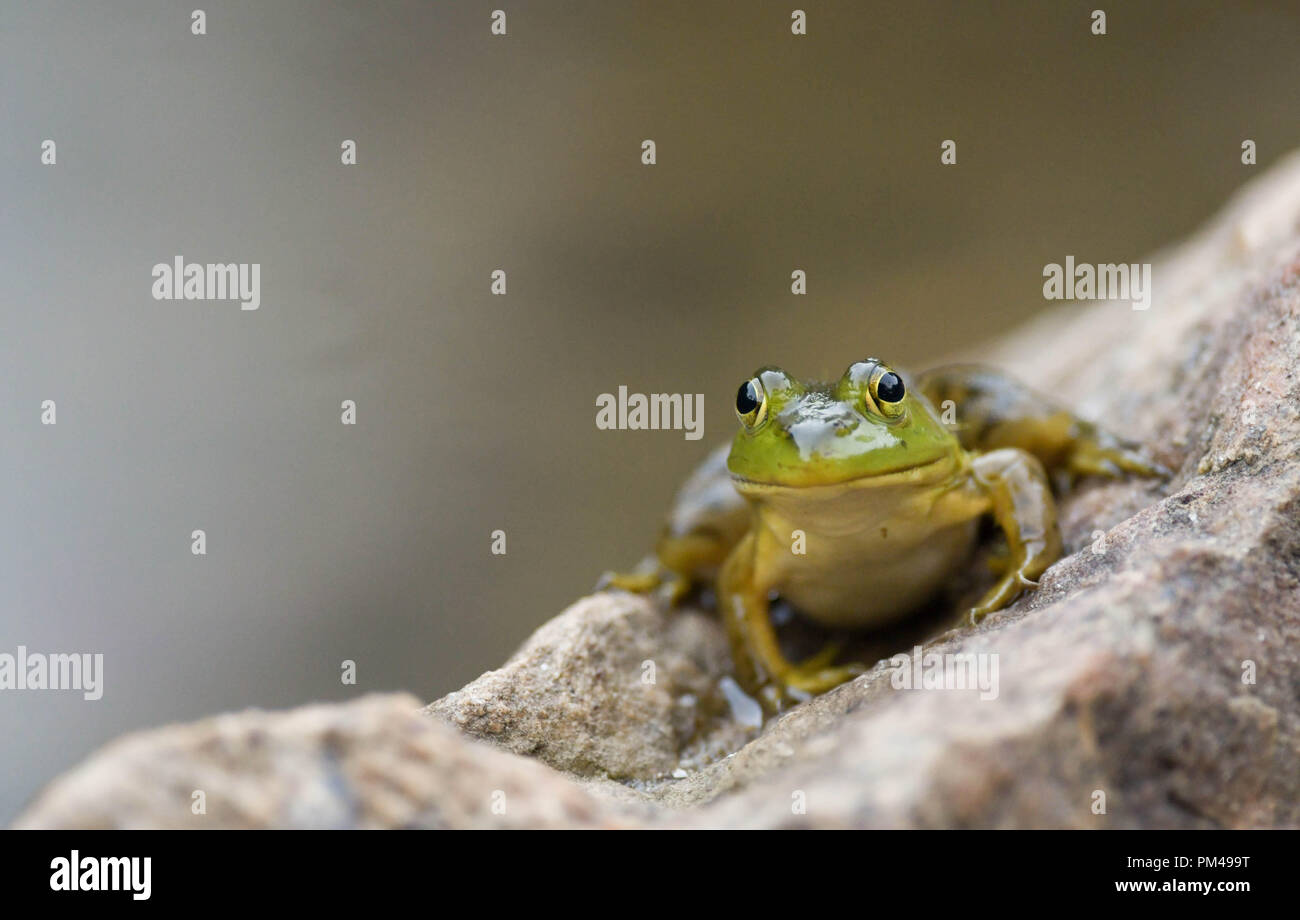 A green frog sits on a rock by a pond in New Hampshire, USA, at dusk. - Stock Image