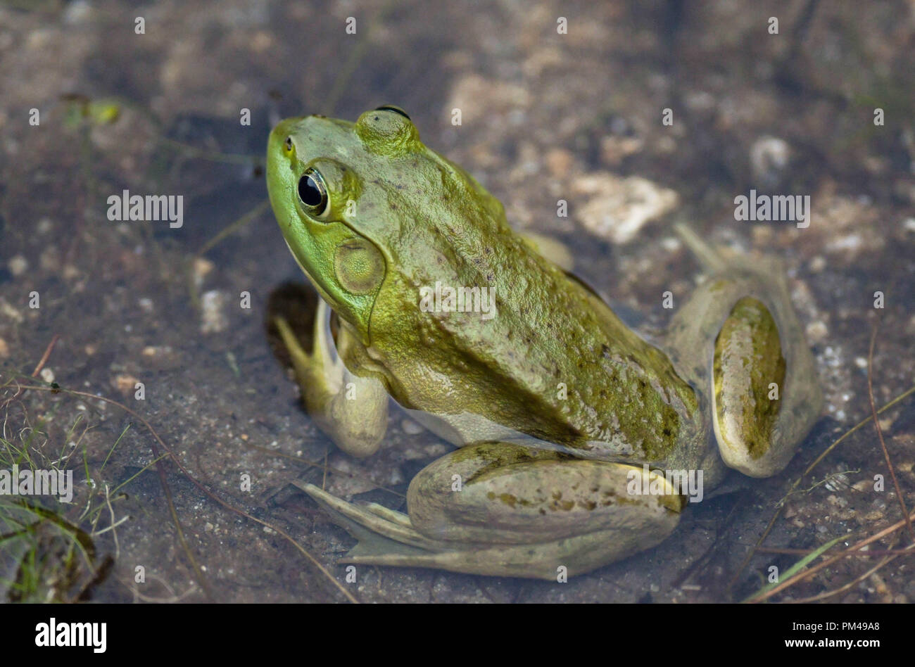 A green frog sits in a pond in September in New Hampshire, USA. - Stock Image