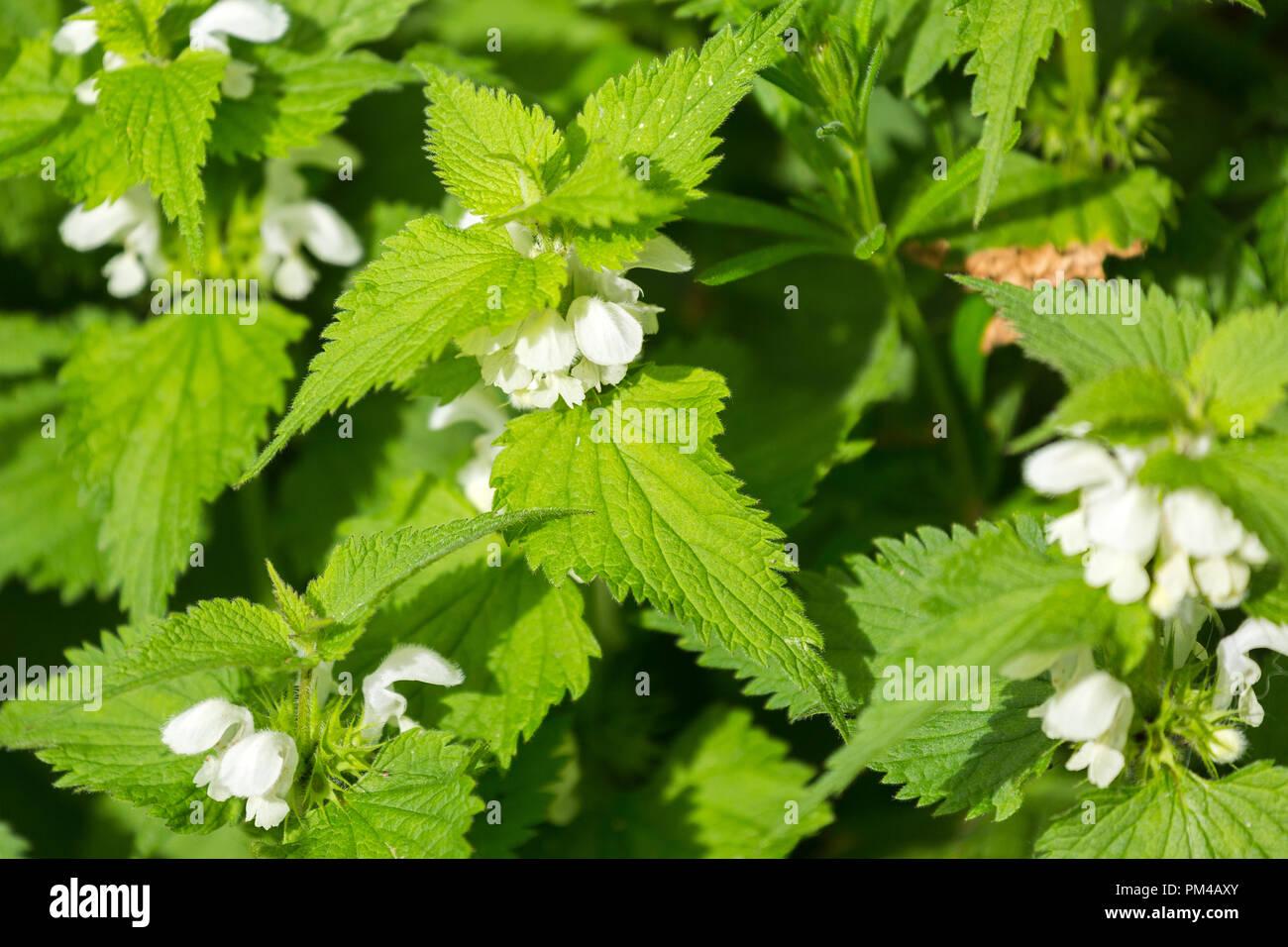 close up of Lamium album White Nettles flowers - Stock Image