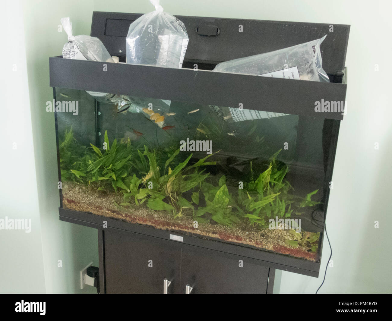 Tropical Freshwater Fish Being Introduced Into a Aquarium - Stock Image