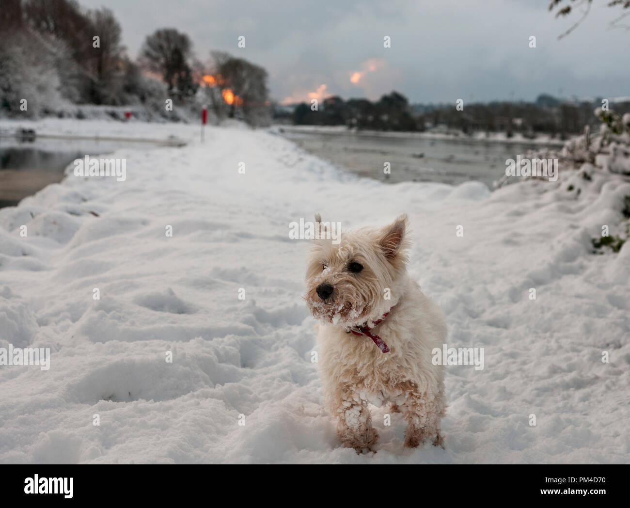 Carrigaline, Cork, Ireland. 28th February 2018.  Oscar the West Highland Terrier enjoying his first experience of snow at the Community Park in Carrig - Stock Image