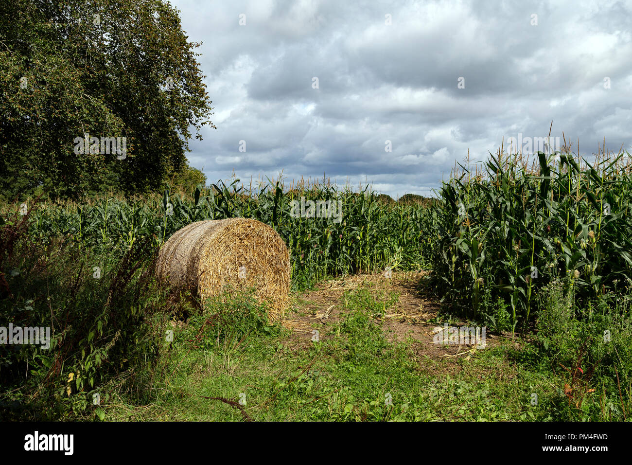 Devon meadow, pasture, paddock, green, pen, grassland, pastureland, sward,maize,cover,meadow, pasture, paddock, green, pen, grassland, pastureland, - Stock Image