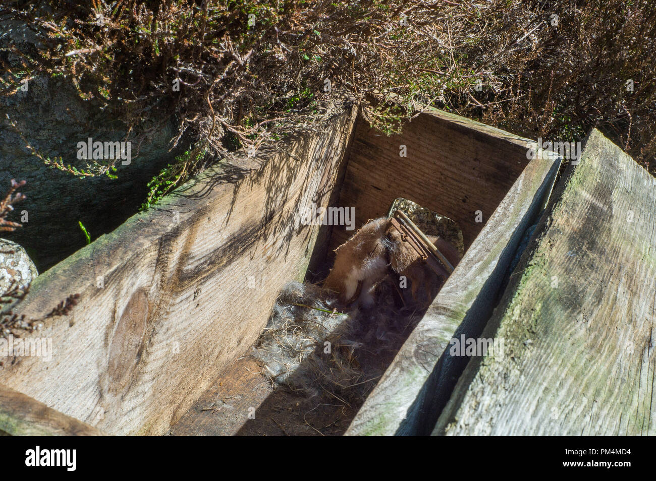 Stoat Caught In Fenn Trap Placed In Wooden Box Tunnel On Hunting