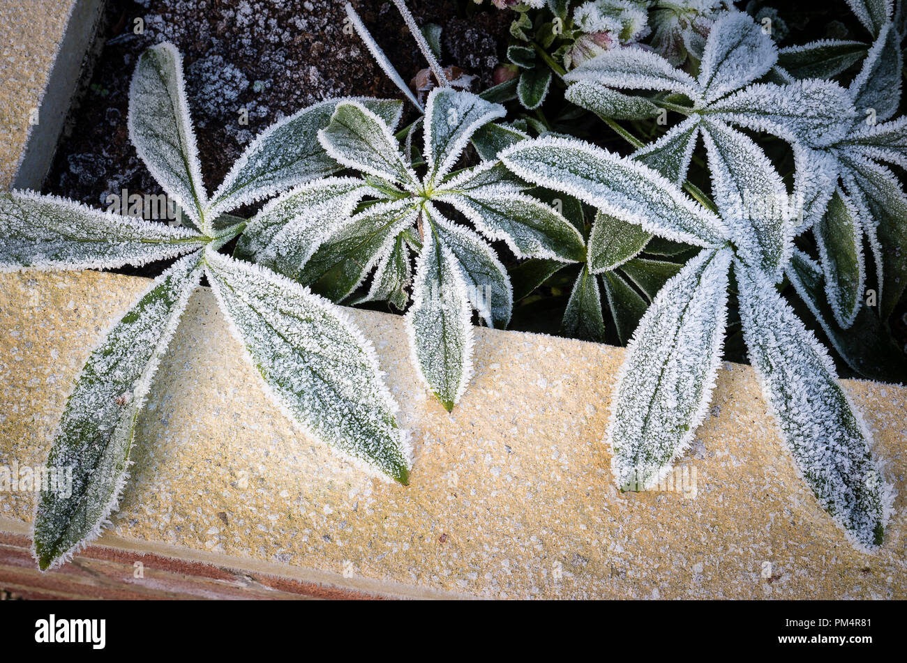 Overnight frost adds a decorative touch to the leaves of Helleborus plants in a raised planter in UK - Stock Image
