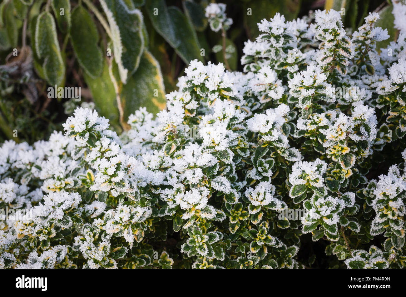 Overnight frost adds a pictorial touch to variegated Thymus Foxley in winter in UK - Stock Image