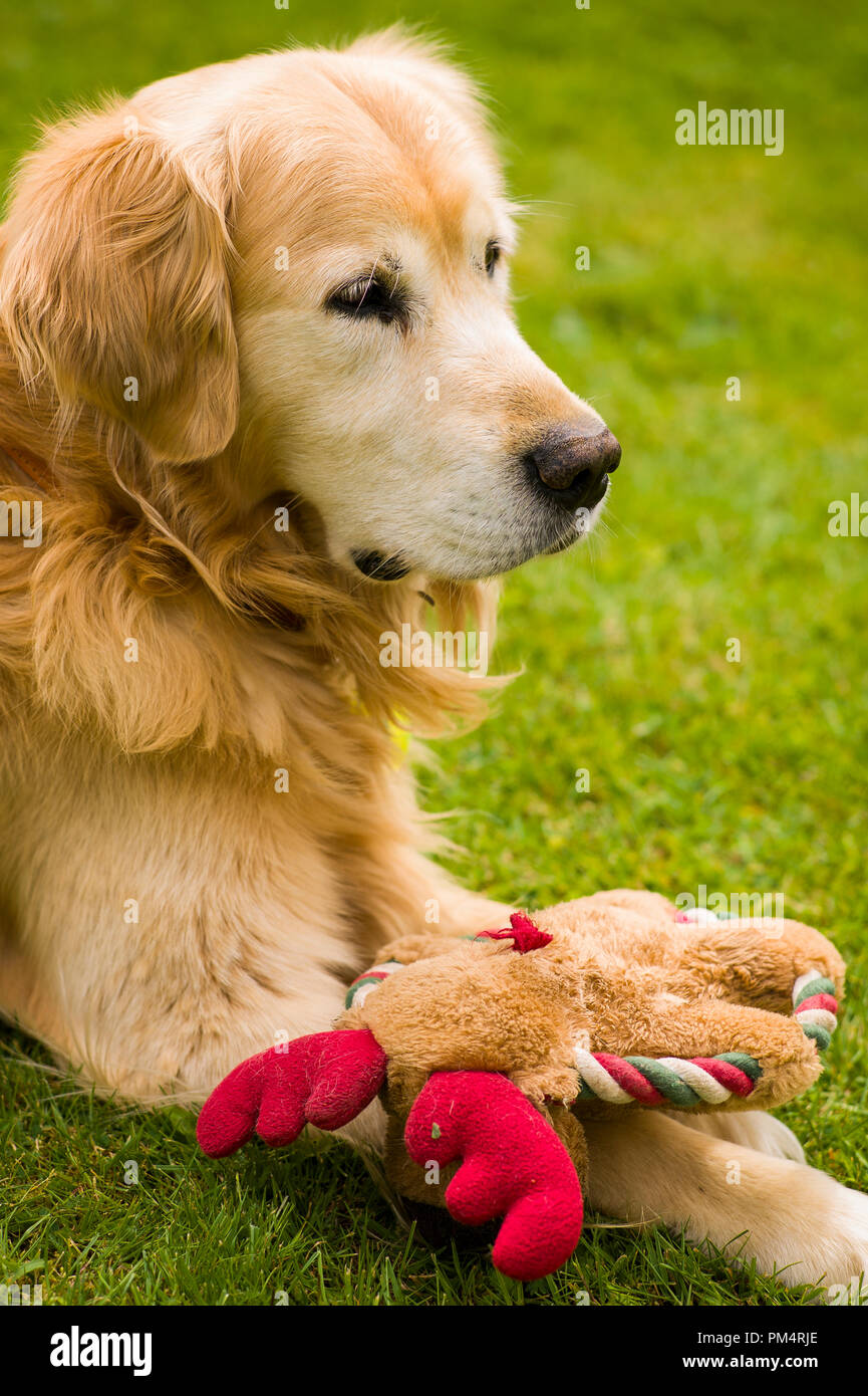 Elderly Golden retriever dog with soft toy contemplating his life on the garden lawn in UK - Stock Image
