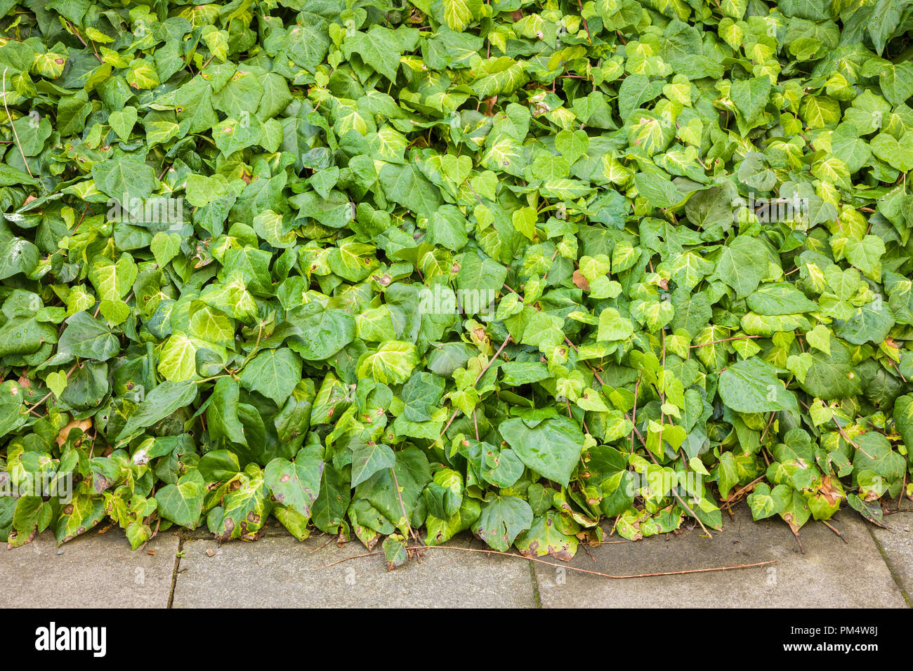 Ivy (Hedera) used as urban design evergreen ground cover in the UK - Stock Image