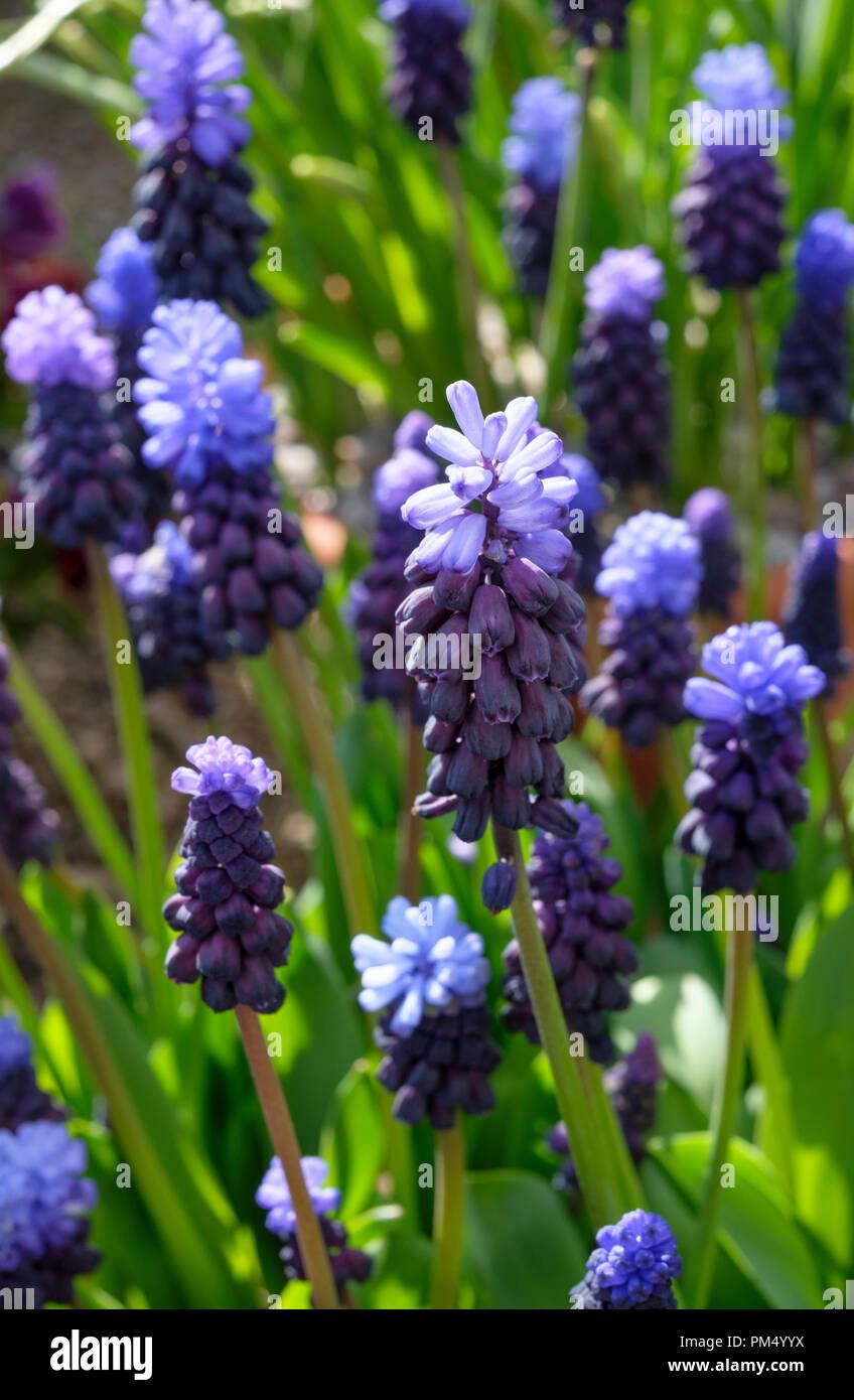 Muscari Latifolium is a broad-leaved popular bicolored Grape Hyacinth Stock Photo