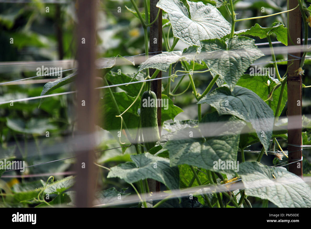 Cucumber plantation in Bandung, Indonesia, Southeast Asia. - Stock Image
