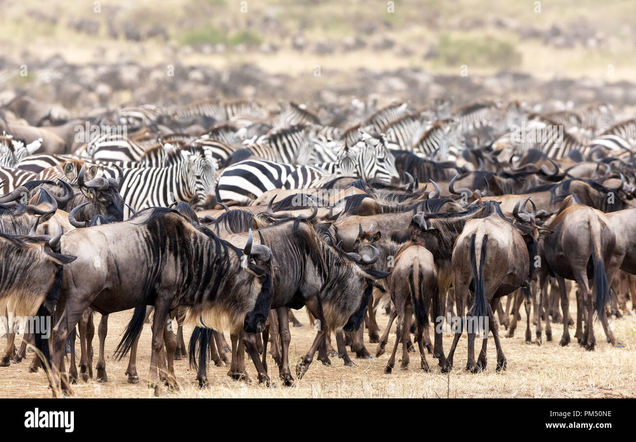 Herds of wildebeest and zebra gather in the Masai Mara during the annual great migration in Kenya Stock Photo