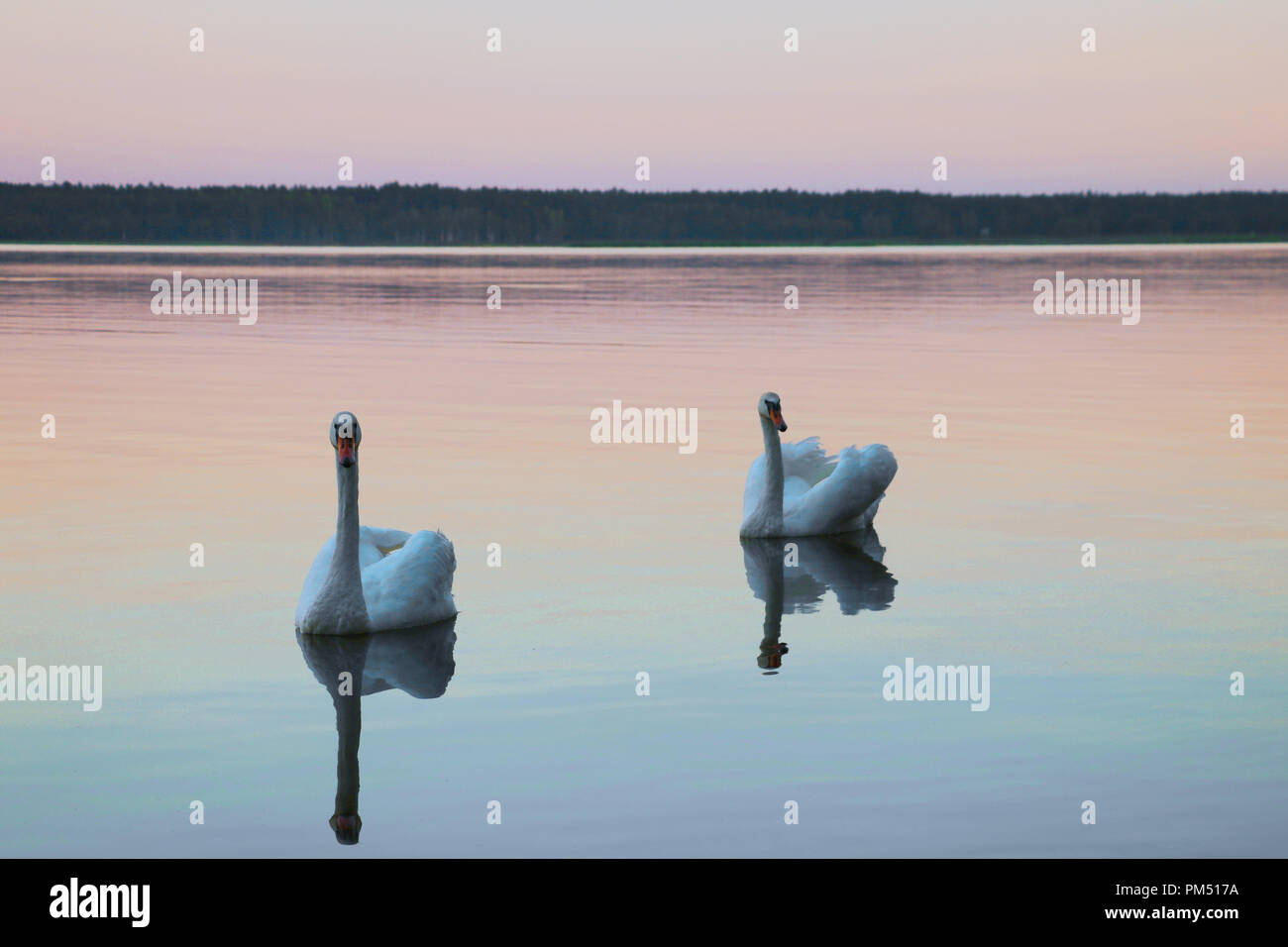 Beautiful swans swim on the lake during sunset, free space. Stock Photo