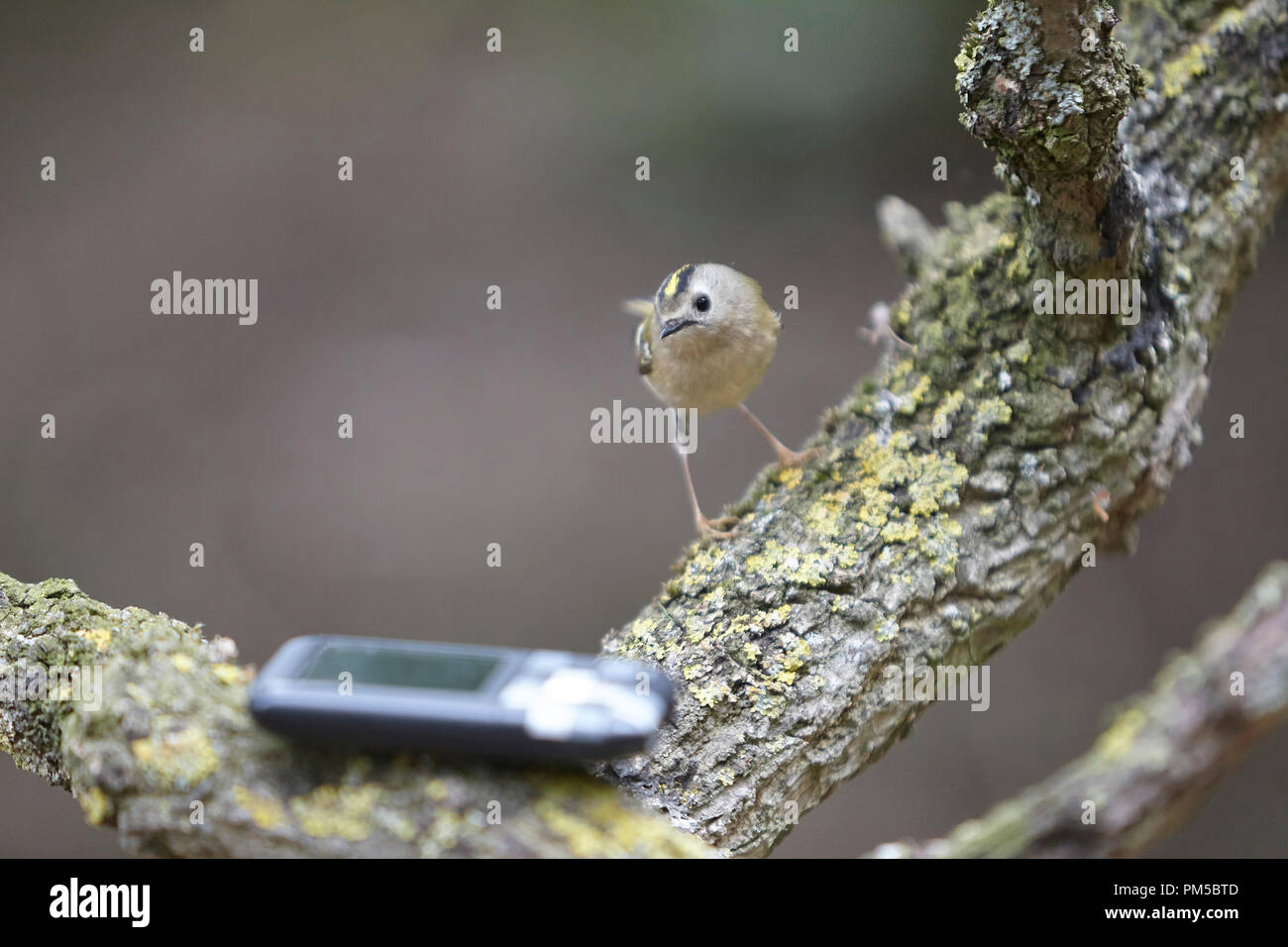 Goldcrest, Regulus regulus, the UK's smallest bird, listening to a recording of its song. - Stock Image