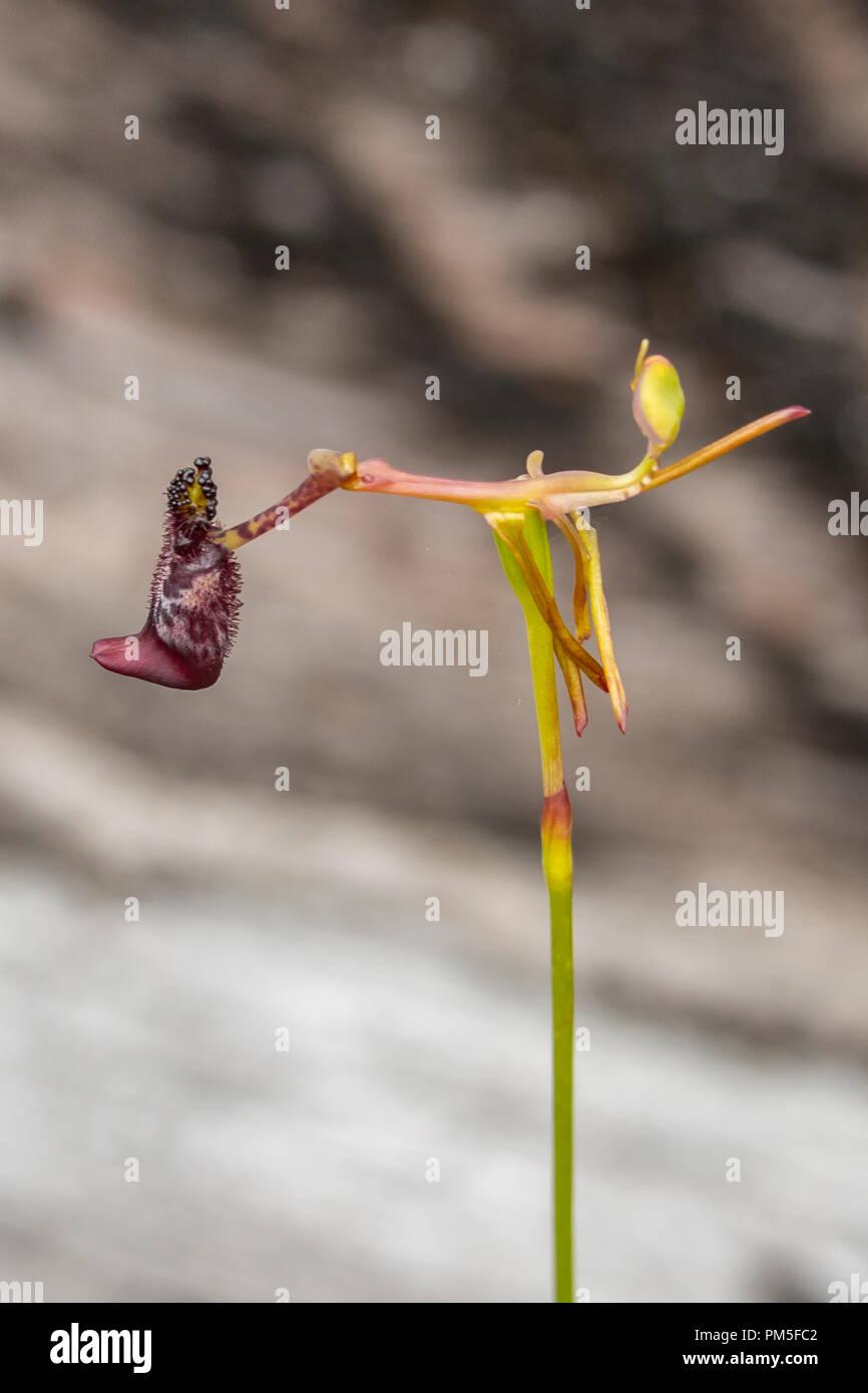 Drakaea livida, Warty Hammer Orchid - Stock Image