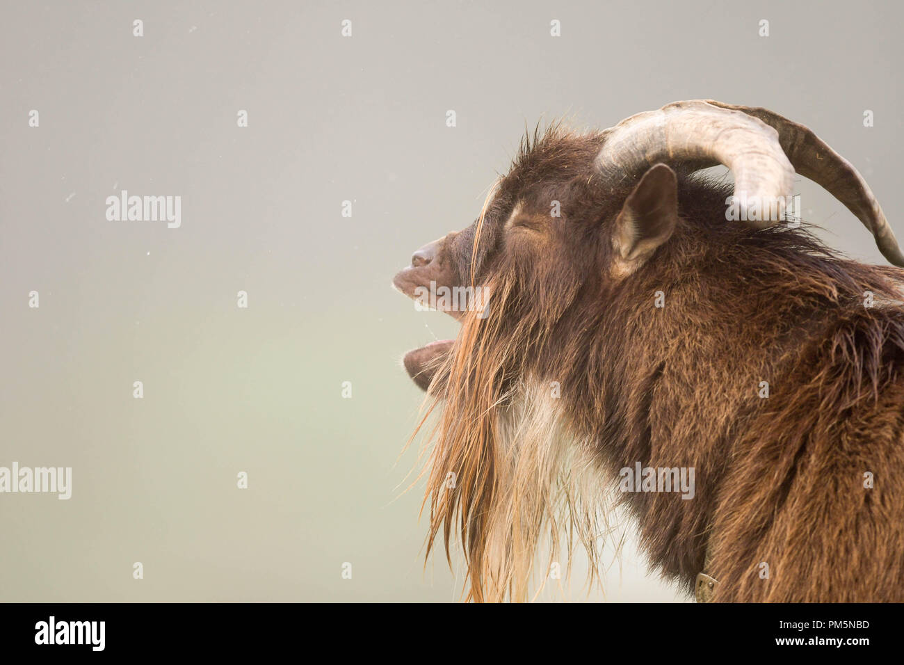 A male mixed-breed goat (Nigerian dwarf and pigmy) bleats for his breakfast on a misty morning on a farm in New Hampshire, USA. - Stock Image
