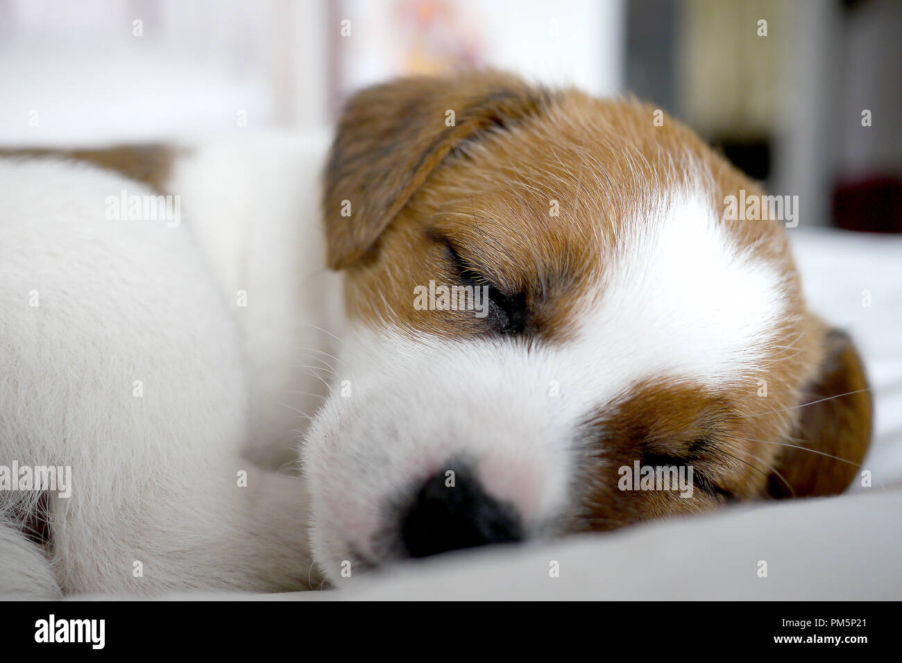 Jack Russel Terrier Puppy High Resolution Stock Photography And Images Alamy