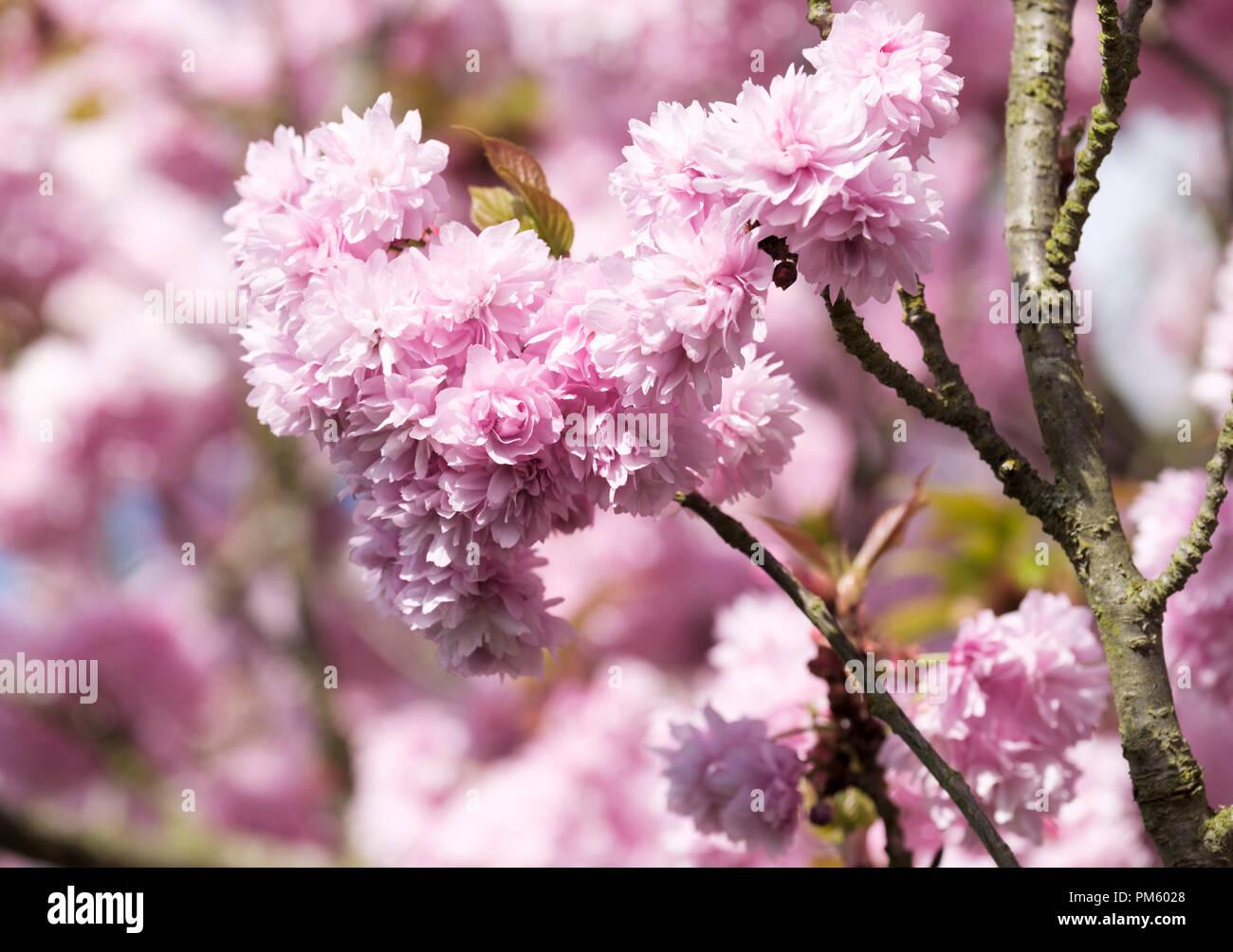 Japanese Flowering Cherry Asano Prunus Asano Flowering Tree