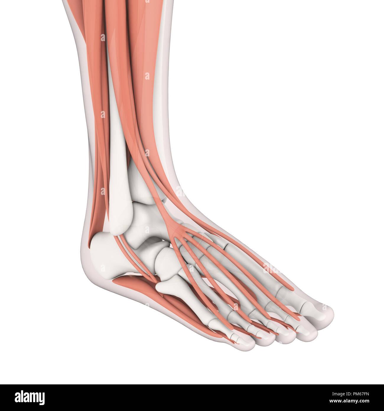 Human Foot Muscles Anatomy Stock Photo 218955177 Alamy
