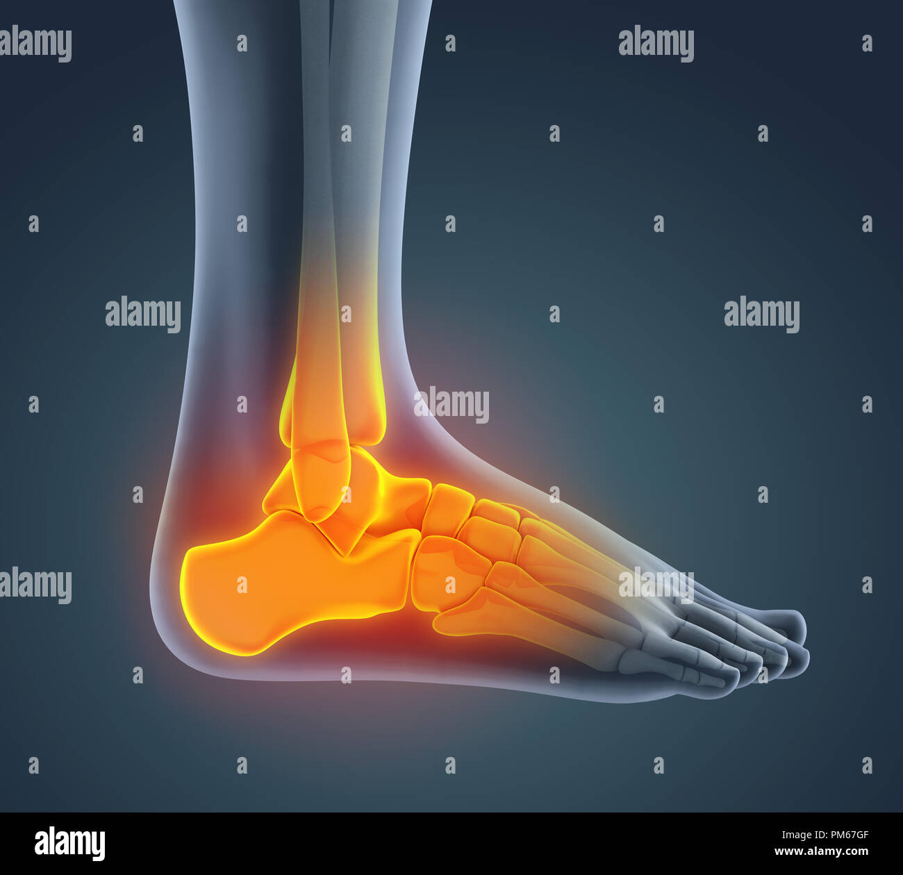 Human Heel Anatomy Stock Photos Human Heel Anatomy Stock Images