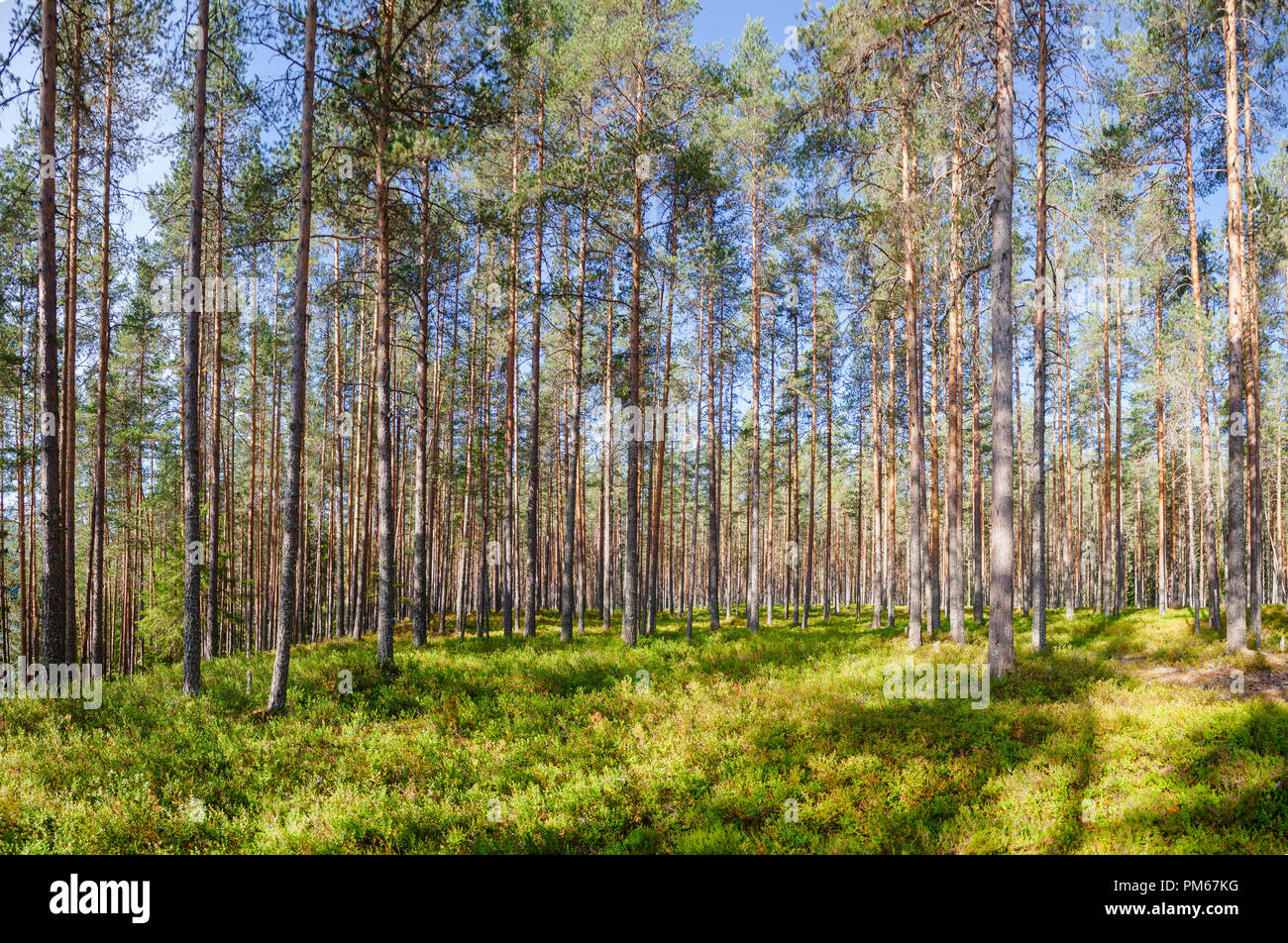 Fir forest on a summer day in Central Norway natural background - Stock Image