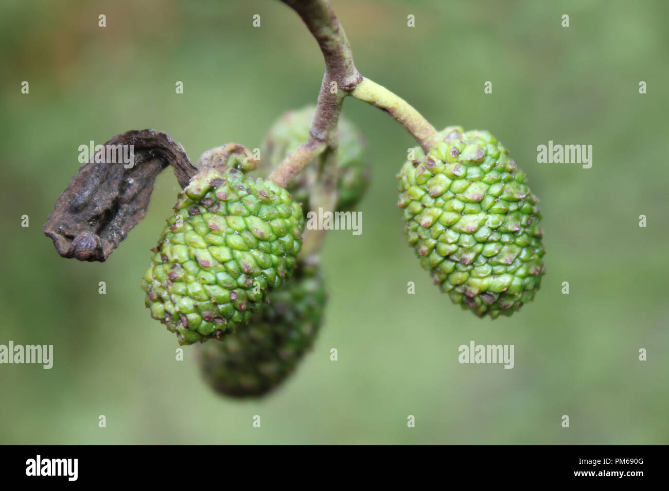 Alder tongue gall caused by Taphrina alni - a fungal plant pathogen - Stock Image