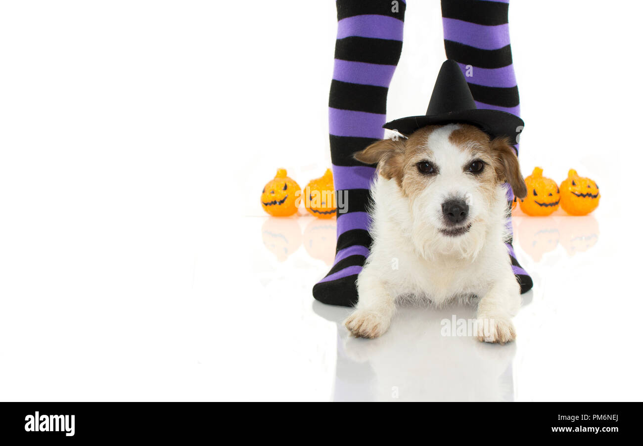 CUTE HALLOWEEN DOG WITCH OR WIZARD HAT LYING DOWN  WITH FUNNY FACE AND PURPLE SOCKS AND PUMPKINS LIKE BACKGROUND, ISOLATED AGAINTS WHITE BACKGROUND WI - Stock Image