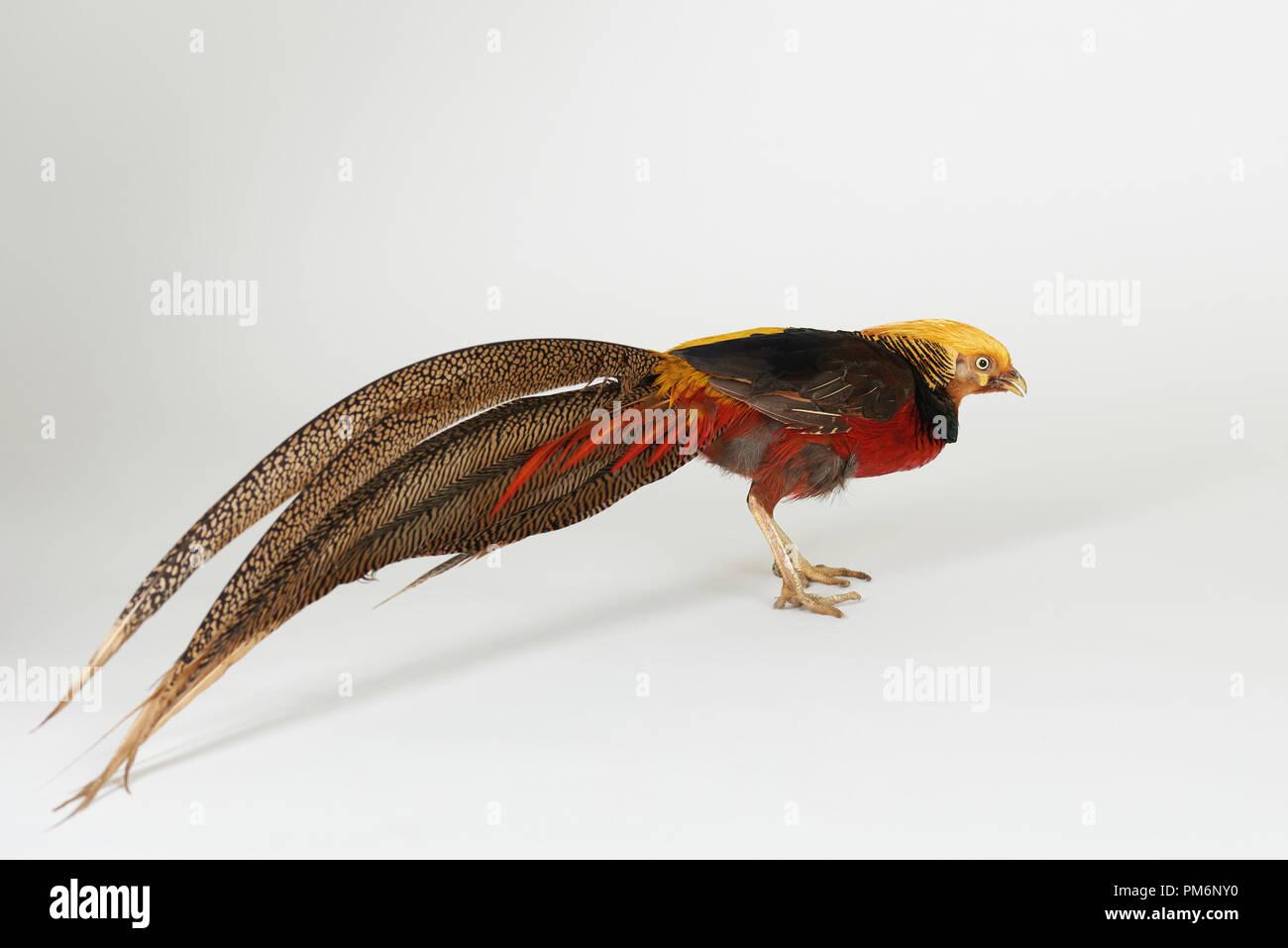 Bright colorful pheasant bird isolated on white studio background - Stock Image