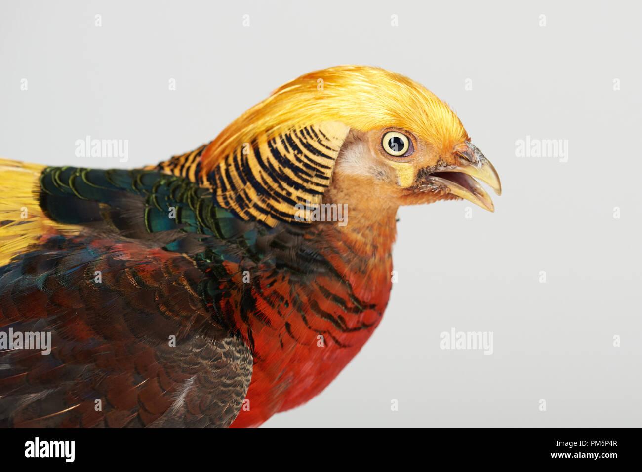 Profile portrait of pheasant bird isolated on white studio background - Stock Image