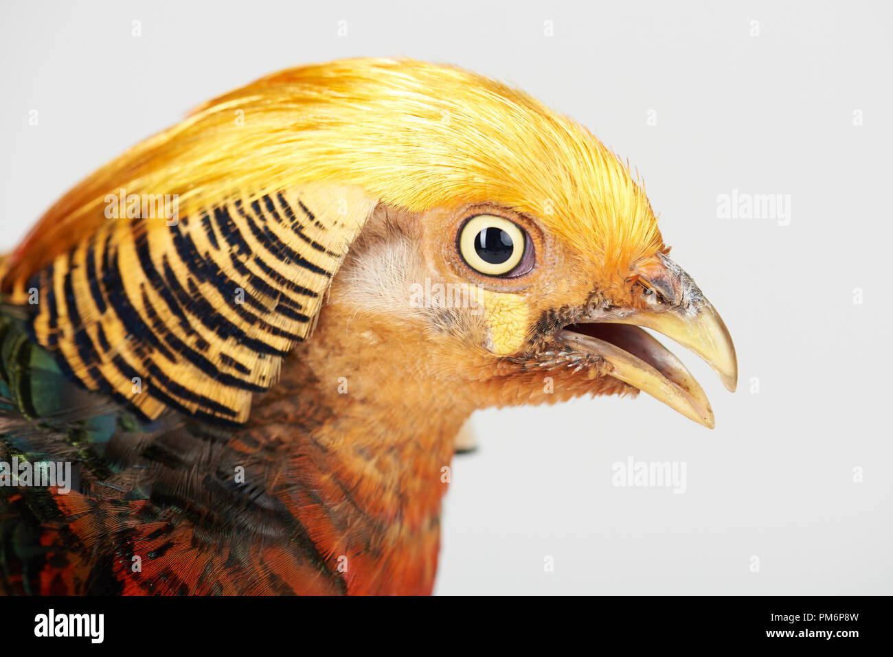 Yellow head of pheasant isolated on white studio background - Stock Image