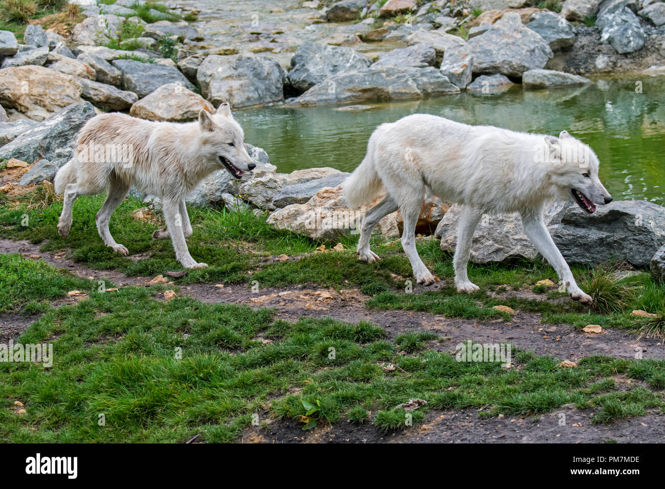 Two Canadian Arctic wolves / white wolves / Polar wolf (Canis lupus arctos), native to Canada, hunting along riverbank - Stock Image