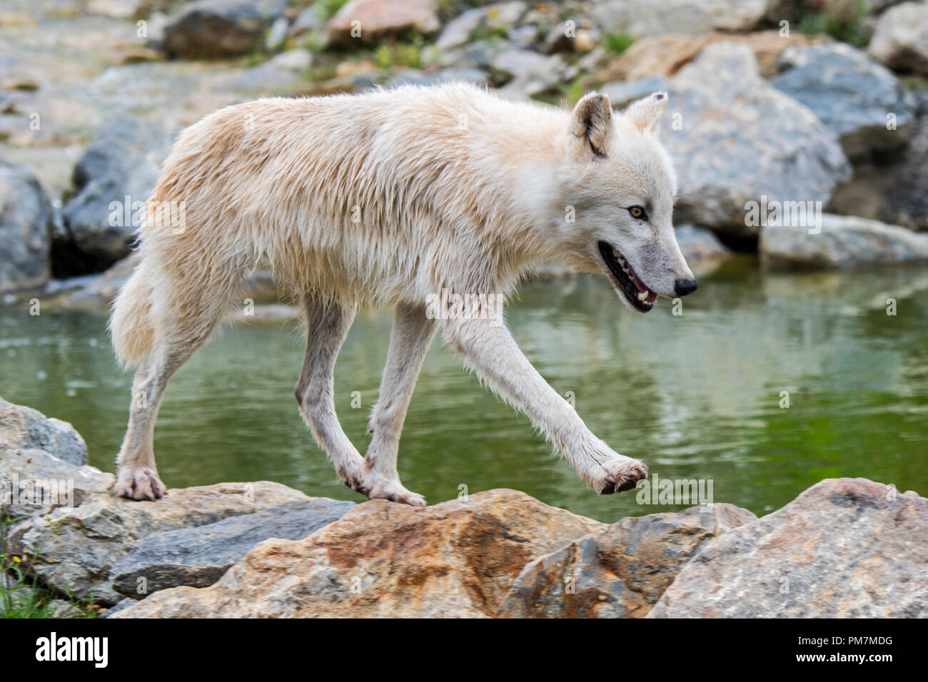 Lone Canadian Arctic wolf / white wolf / Polar wolf (Canis lupus arctos) native to Canada foraging along stream - Stock Image