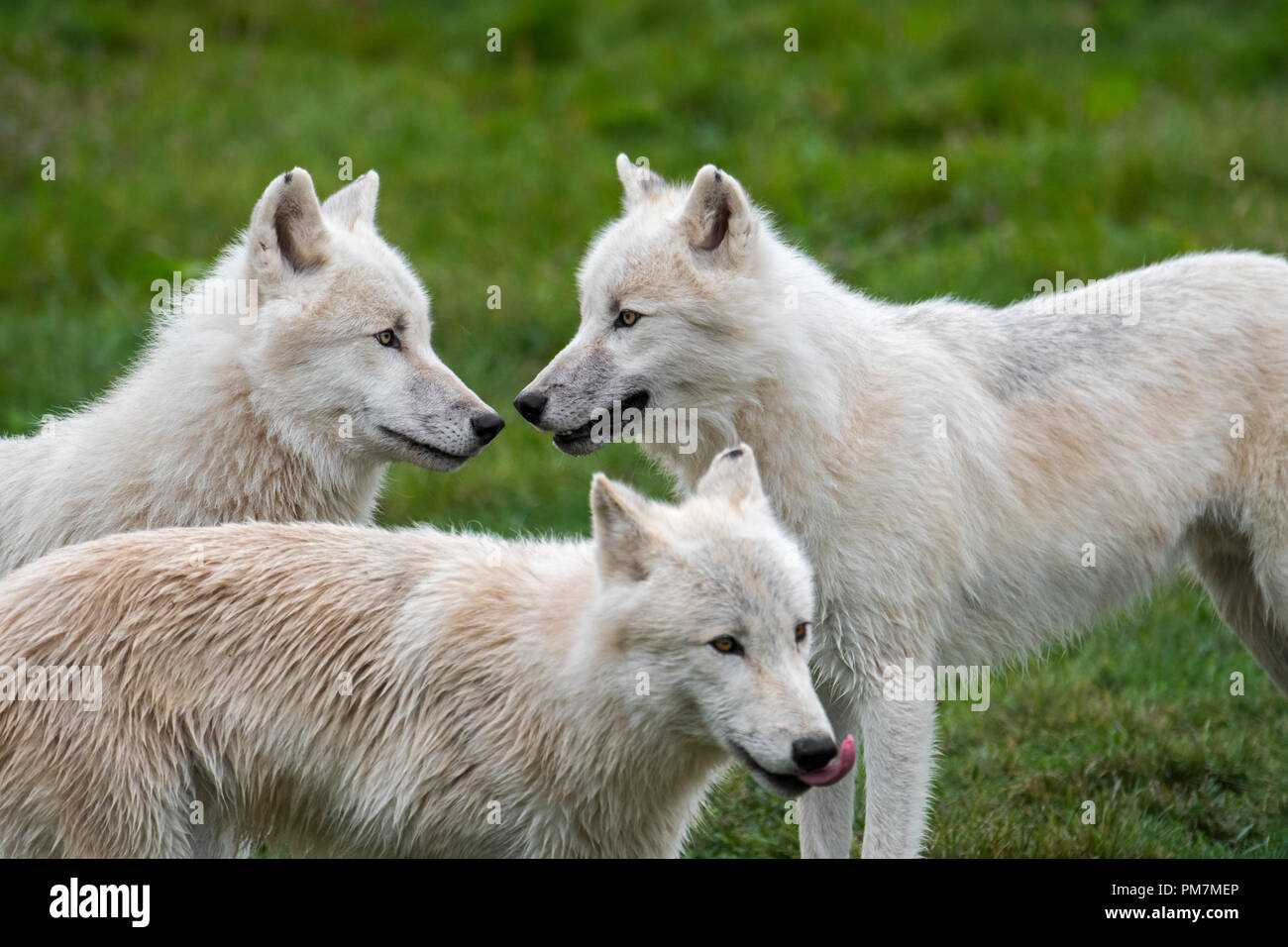 Close up of three Arctic wolves / white wolves / Polar wolf (Canis lupus arctos) wolf pack, native to Canada - Stock Image