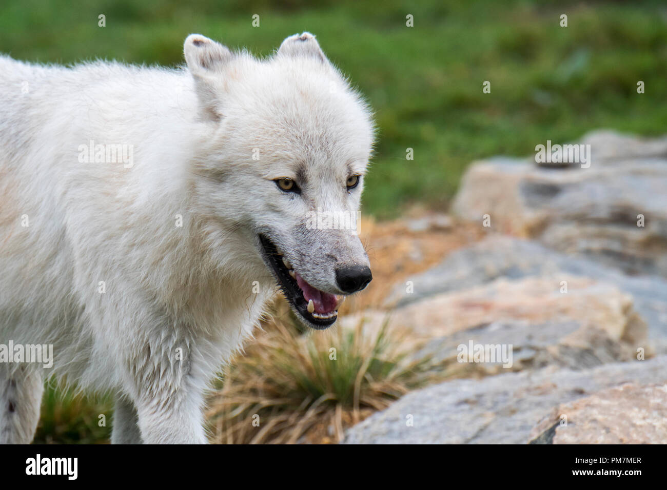 Close up portrait of Canadian Arctic wolf / white wolf / Polar wolf (Canis lupus arctos) native to Canada with flattened ears - Stock Image