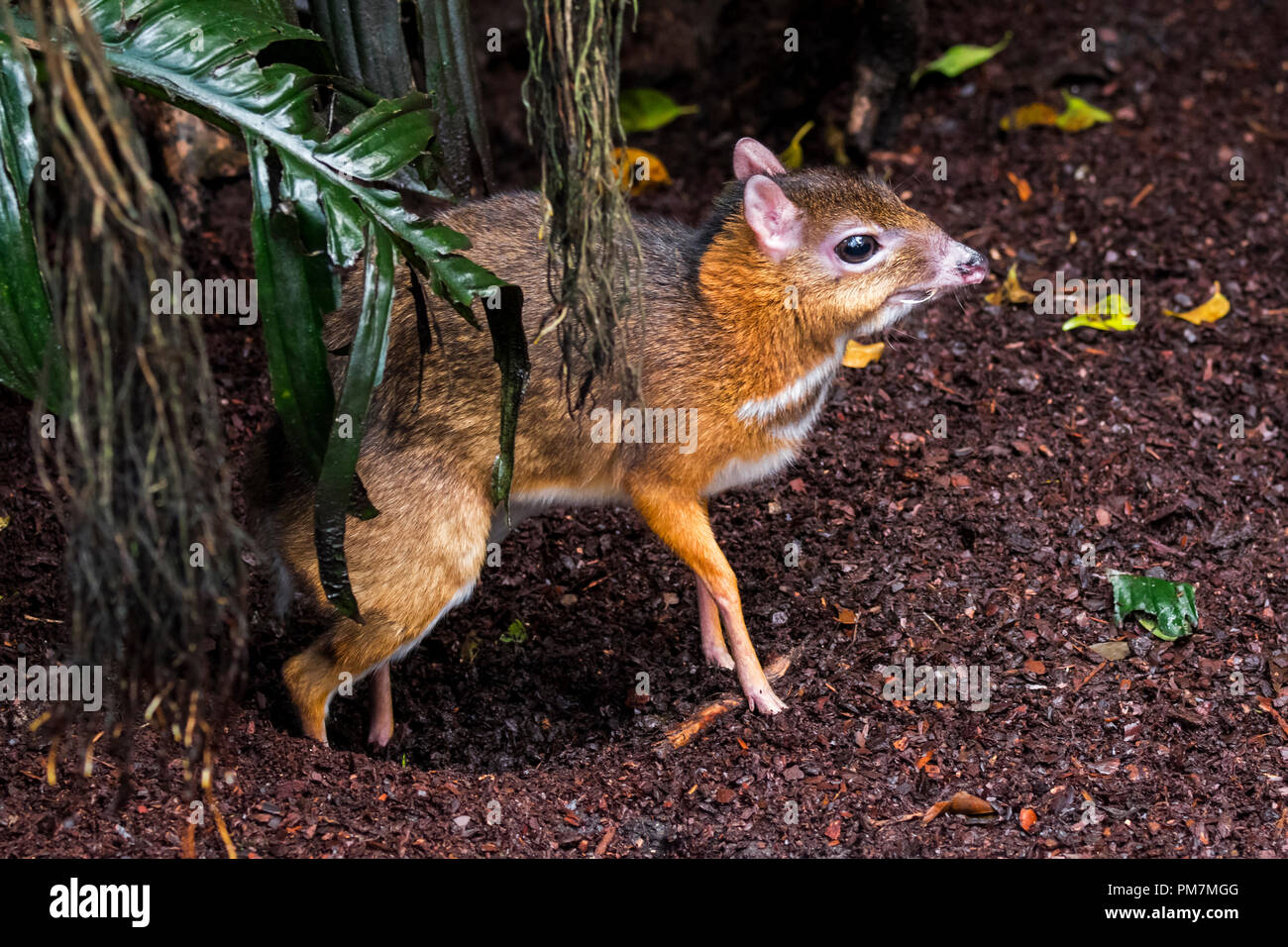 Lesser mouse-deer / kanchil / lesser Malay chevrotain (Tragulus kanchil) smallest hoofed mammal showing elongated canine teeth, Southeast Asia - Stock Image