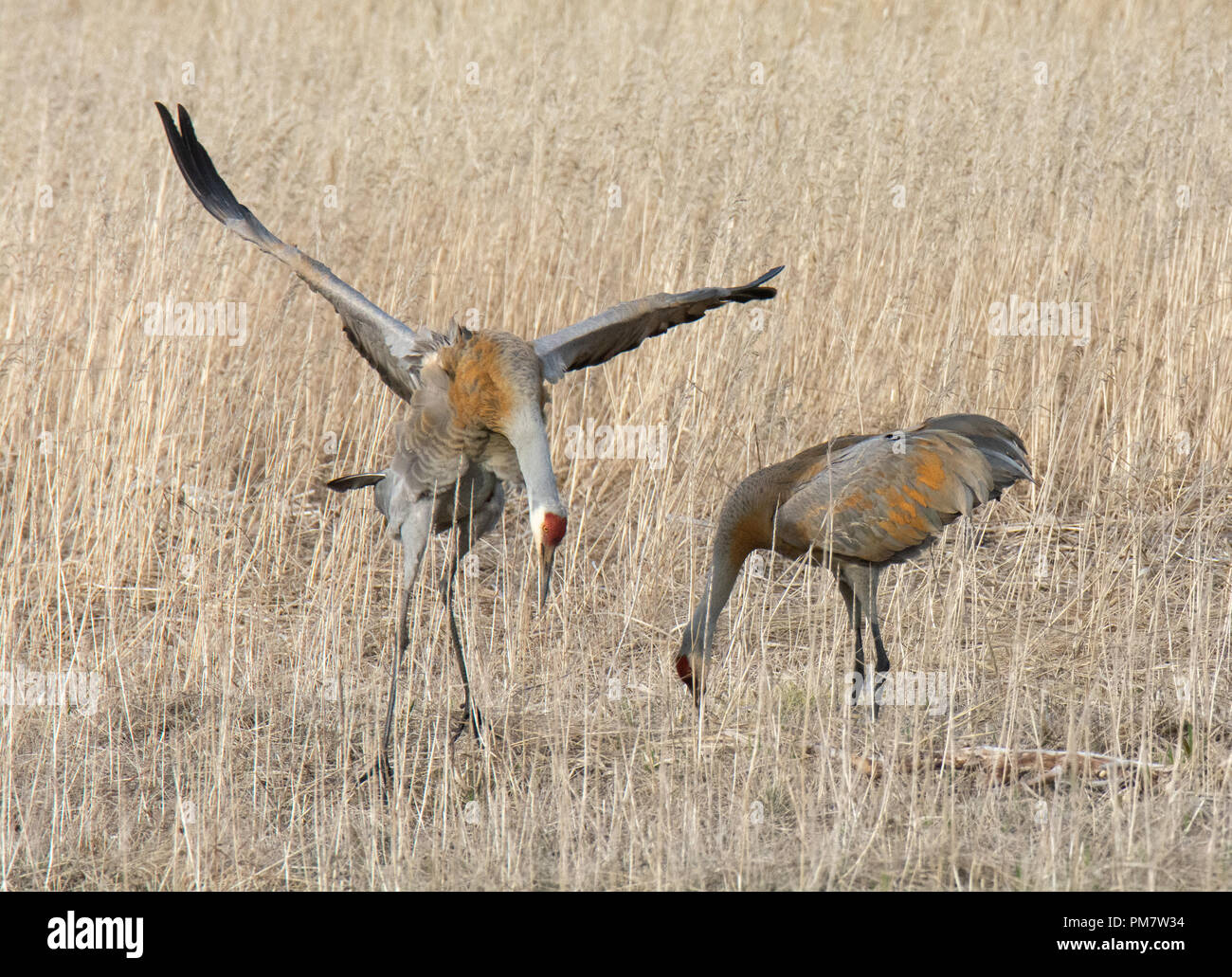 A male Sandhill crane spreads his wings wide and bows his head to a female - Stock Image