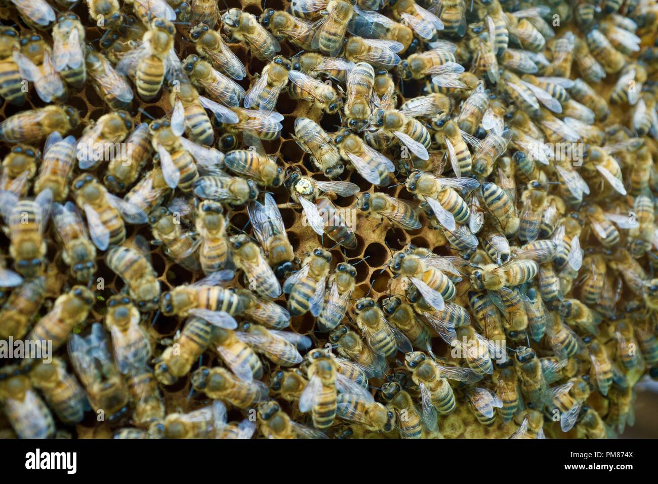 Bees with queen bee - Stock Image