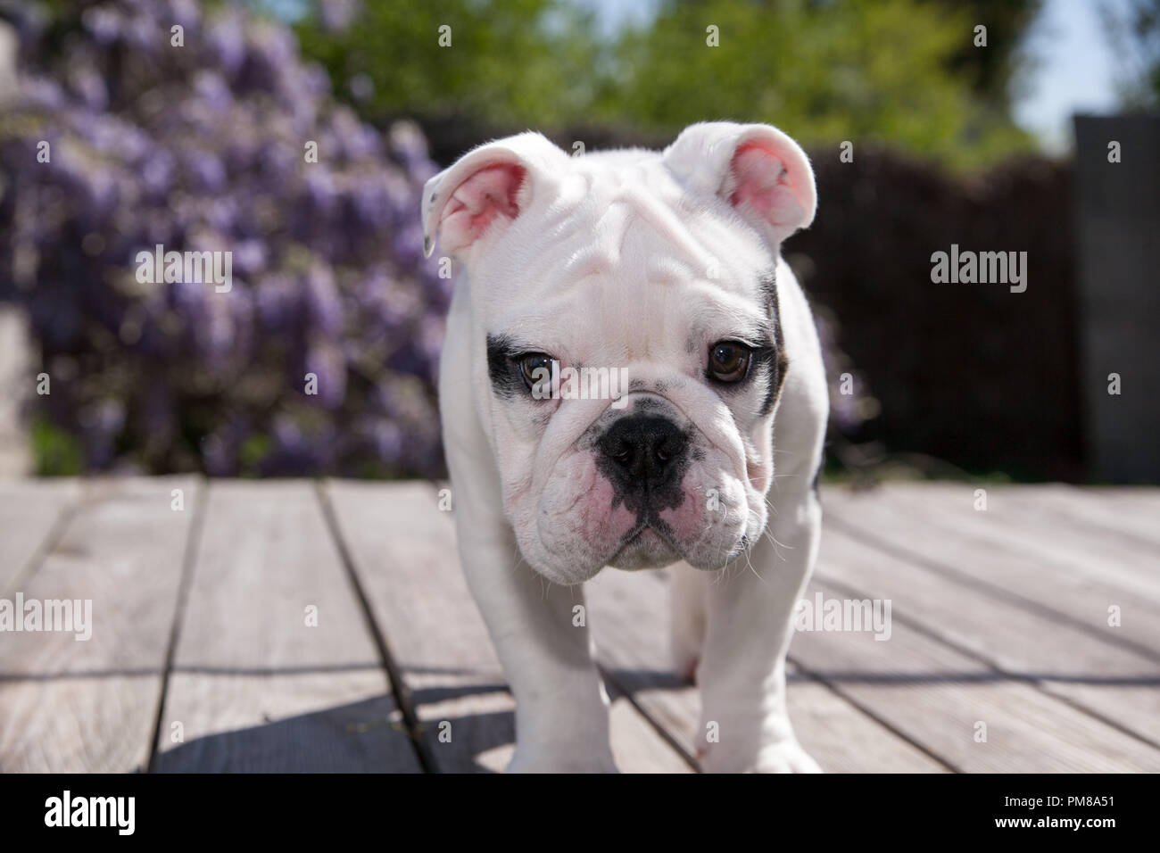 black & white baby bulldog puppy dog on deck standing forward looking as if he has been punished. Stock Photo