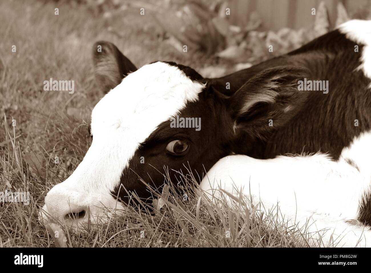 Newborn Holstein calf in sepia tones - Stock Image