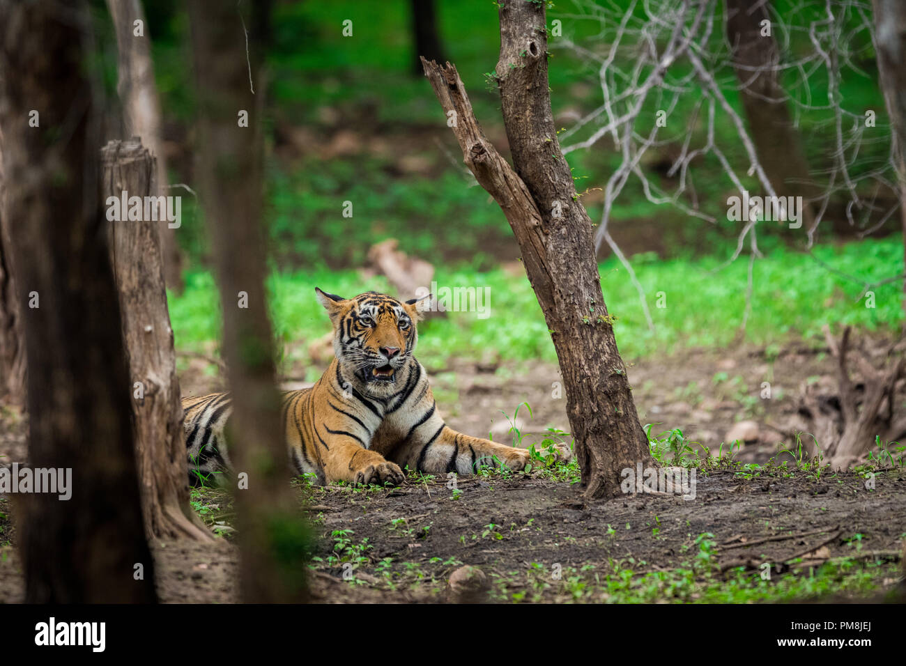 A male tiger sitting under shed of a tree in a rainy day In monsoon at Ranthambore National Park. Its amazing to see how this dry forest becomes lush Stock Photo