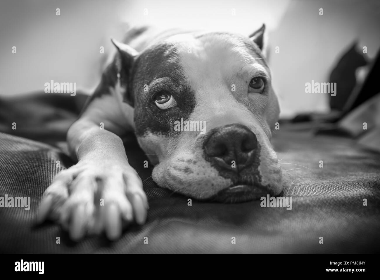 An old American Staffordshire Terrier Pitbull dog lays on a blanket with bright backlighting and a sleepy exhausted wistful look on its face - Stock Image