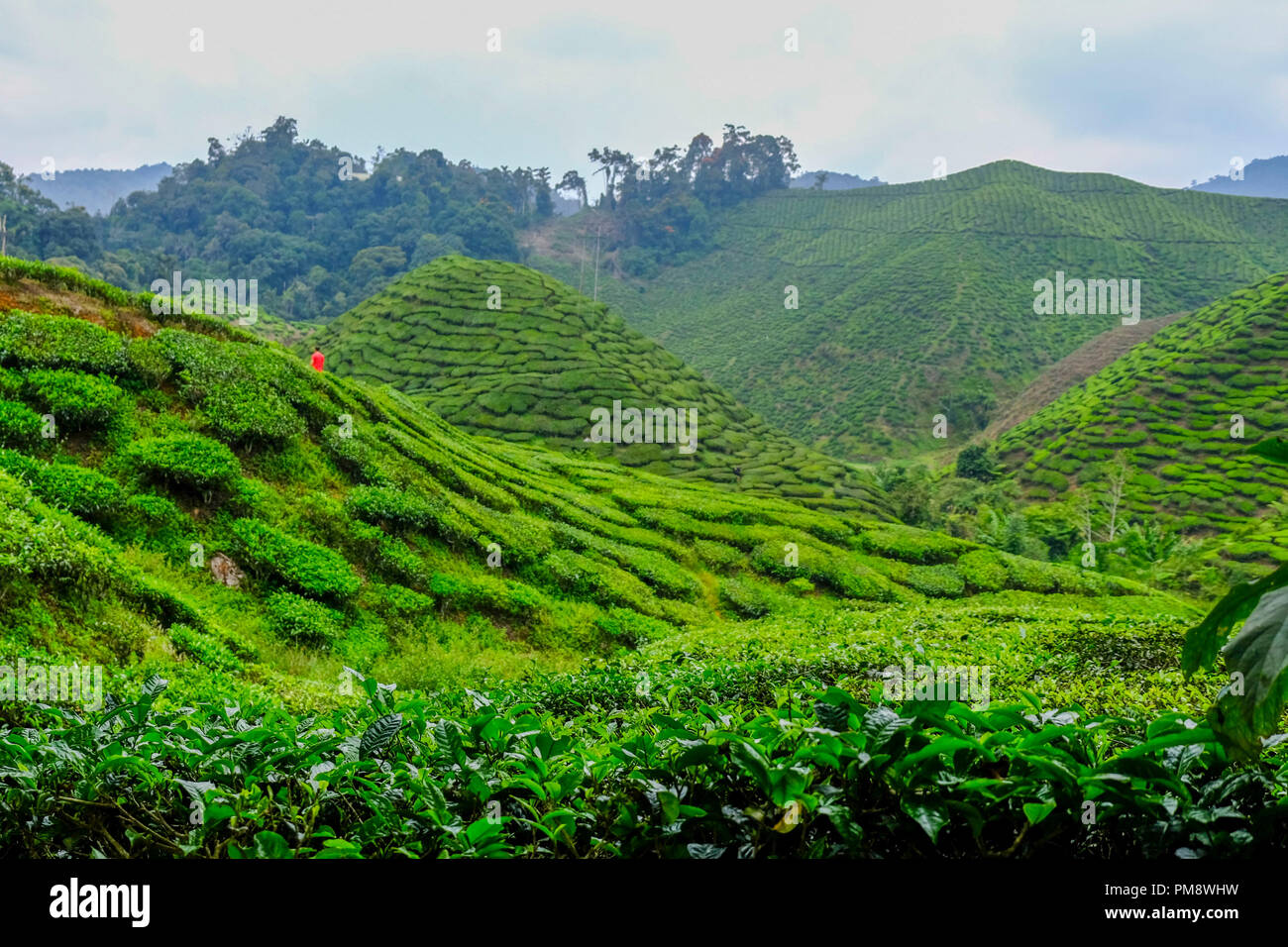 Tea plantation is the major plantation of the Cameron highland since 1929 and it is more than thousands of hectares.   The Cameron Highlands is one of a tourist destination located at Pahang, Malaysia and it is named after a British explorer and geologist, William Cameron. Since the discovery of Cameron Highlands, it has been an agricultural site's until to nowadays and the most well known plantation is tea. It is also rich with flora's and fauna's because the uniqueness climate of the Cameron Highlands. - Stock Image