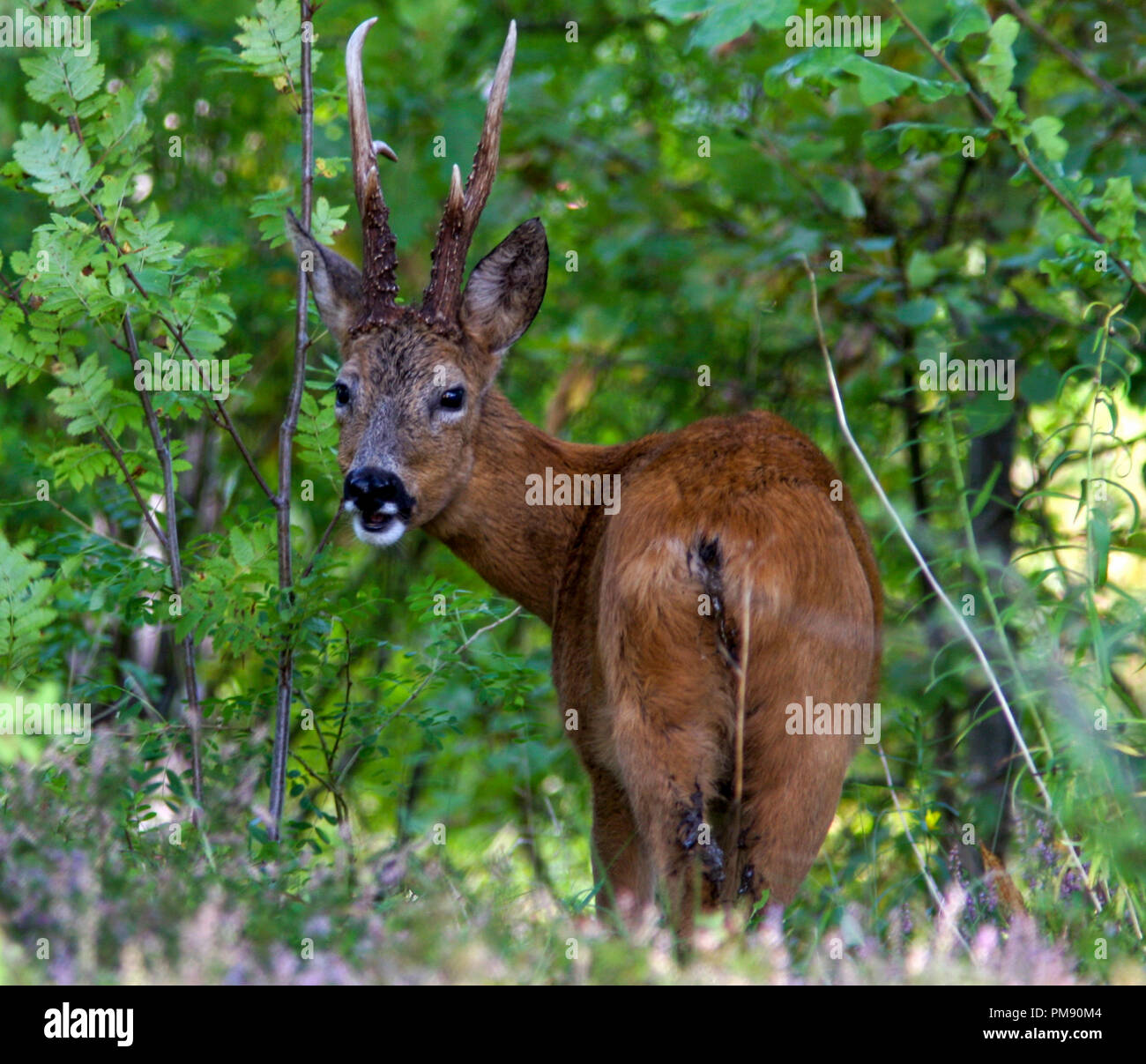 ROEBUCK grazing in scrub 2015 - Stock Image