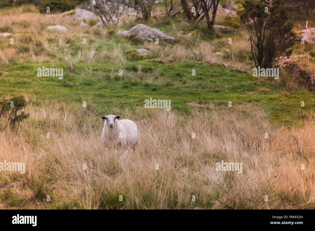 Lone sheep staring across the field in the meadow Stock Photo