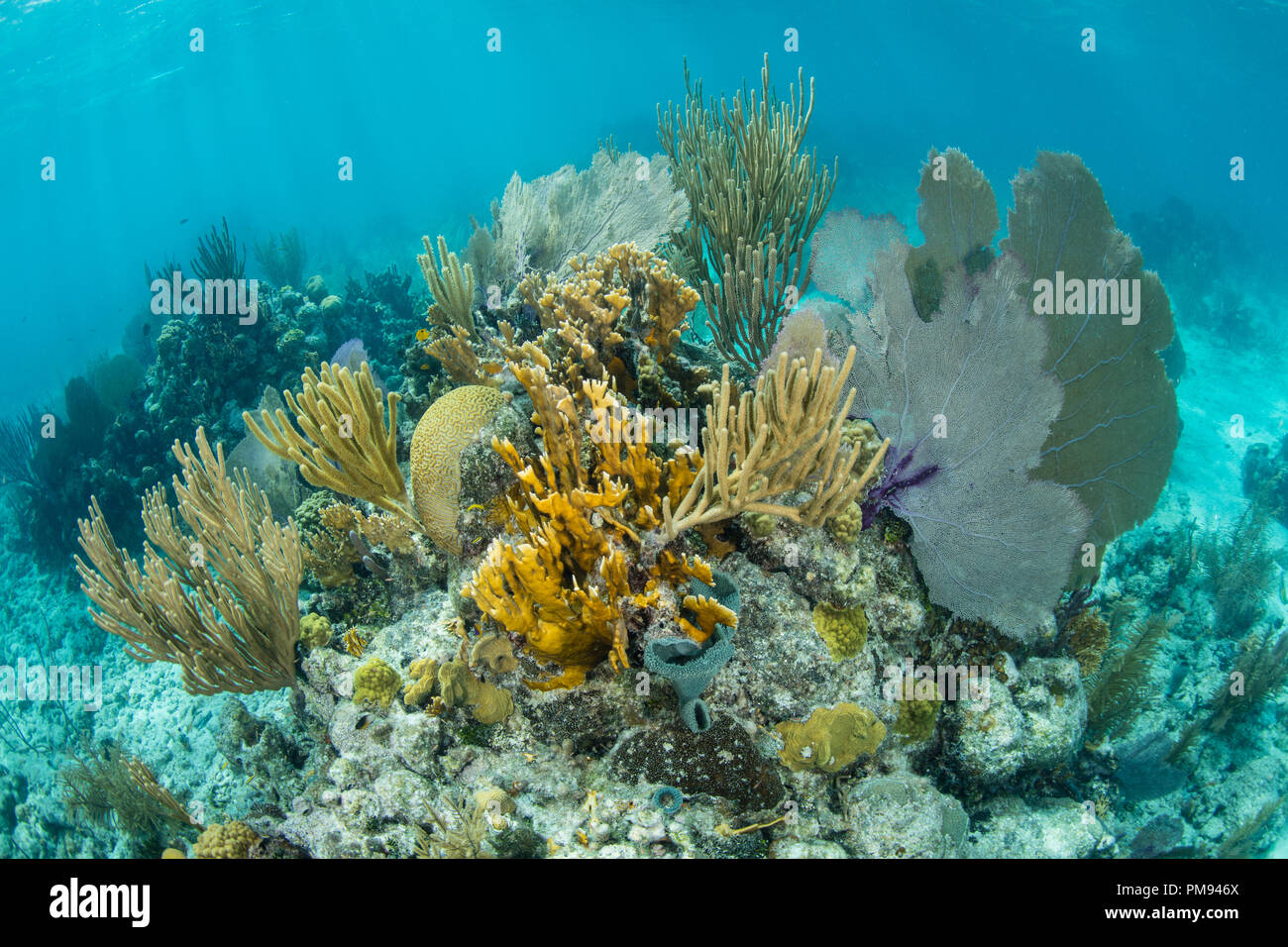 A beautiful coral reef grows along the edge of Turneffe Atoll in the Caribbean Sea. This reef is part of the massive Mesoamerican Reef System. - Stock Image